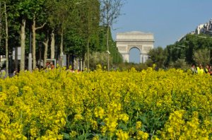 A field of yellow-flowered colza plants is installed on the Champs Elysees near the Arc de Triomphe monument in Paris