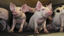 lextension-des-porcheries-facilite